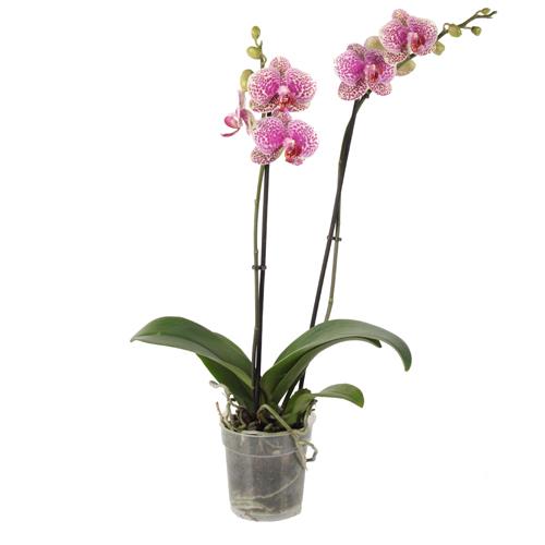 Xpol Phalaenopsis p12 Sun Beauty 500