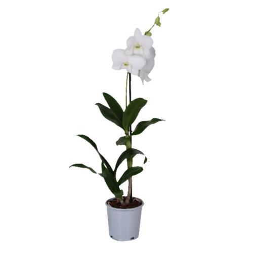 Xpol phalaenopsis white