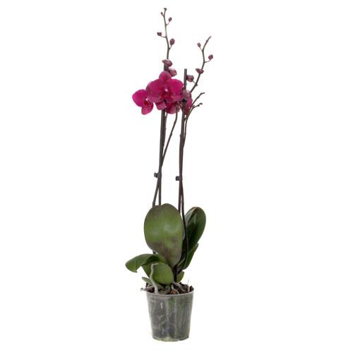 Xpol Phalaenopsis Pavarotti 500