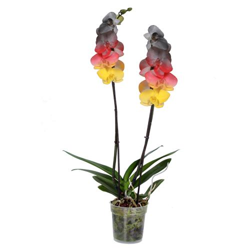 Xpol phalaenopsis DE 500