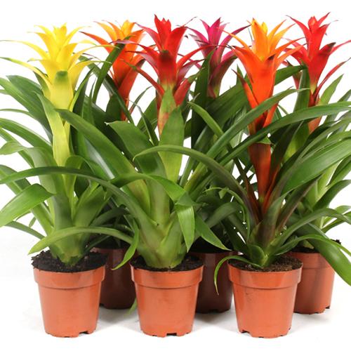 Xpol plants Guzmania Sunnies
