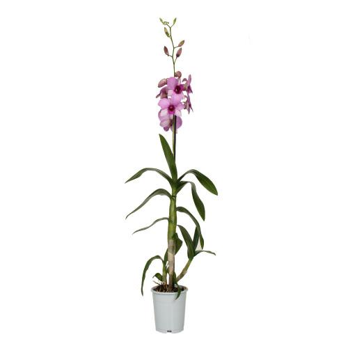 Xpol phalaenopsis pink